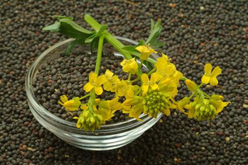 Rapeseed Oil Plant